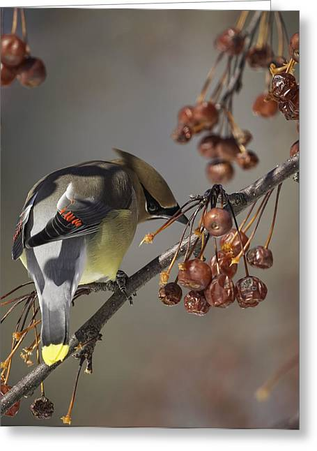 Cedar Waxwing Greeting Cards - Cedar Waxwing Eating Berries 7 Greeting Card by Thomas Young