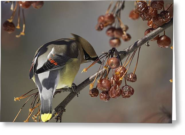 Cedar Waxwing Eating Berries 7 Greeting Card by Thomas Young