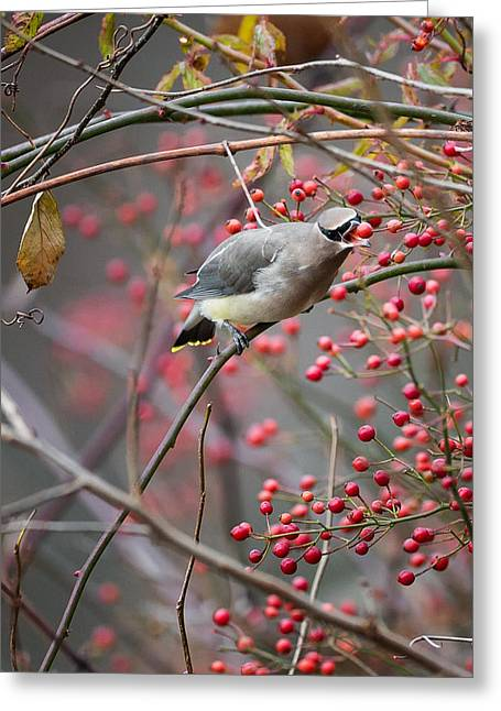 Cedar Waxwing Greeting Cards - Cedar Waxwing Feeding Greeting Card by Bill  Wakeley
