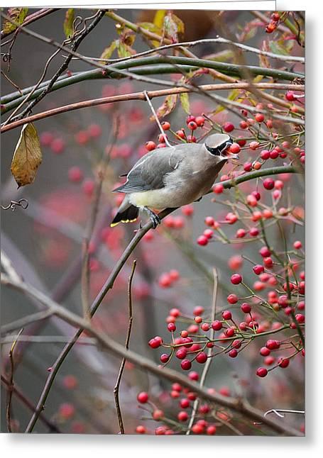 Feeding Birds Greeting Cards - Cedar Waxwing Feeding Greeting Card by Bill  Wakeley