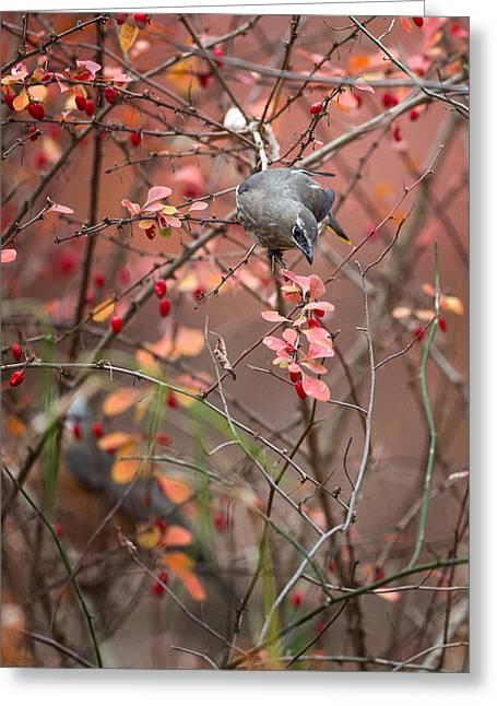 Feeding Birds Greeting Cards - Cedar Waxwing Foraging Greeting Card by Bill  Wakeley