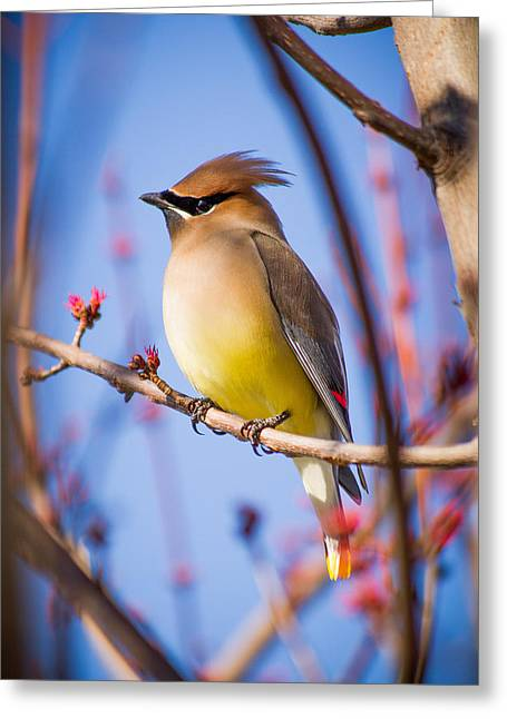 Cedar Waxwings Greeting Cards - Cedar Waxwing In Winter Greeting Card by Nathaniel Kidd