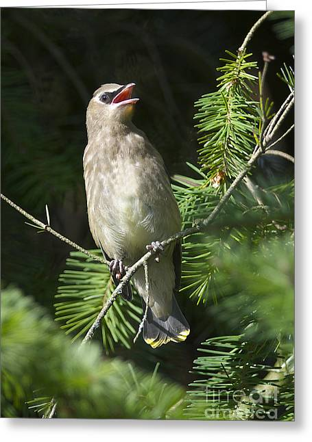 Cedar Waxwing Greeting Cards - Cedar Waxwing Juvenile 2 Greeting Card by Sharon  Talson