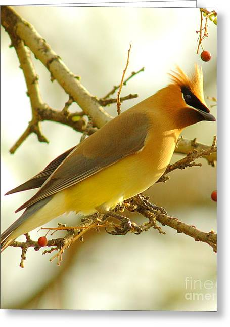 Migrate Greeting Cards - Cedar Waxwing Greeting Card by Robert Frederick