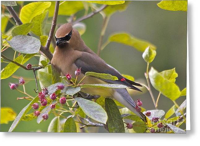 Black Berries Pastels Greeting Cards - Cedar Waxwing Greeting Card by Tracey Levine
