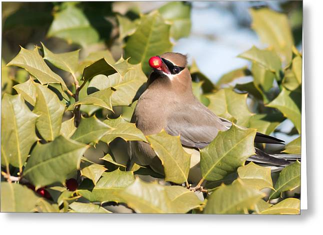 Photographs With Red. Greeting Cards - Cedar Waxwing with Berry Greeting Card by Terry DeLuco