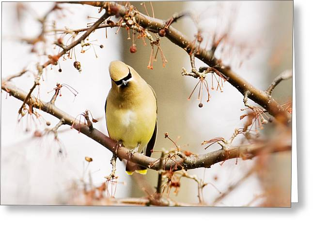 Variable Focus Greeting Cards - Cedar WAxwing with Cocked Head Greeting Card by Jan Tyler