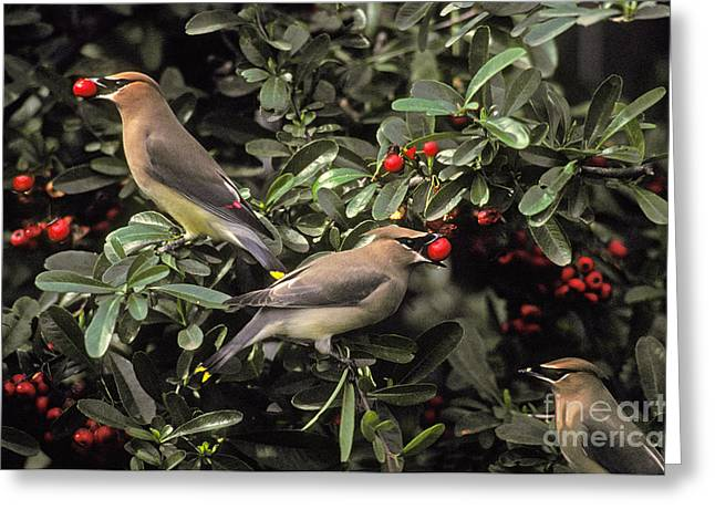 Passeriformes Greeting Cards - Cedar Waxwings Eating Berries Greeting Card by Ron Sanford