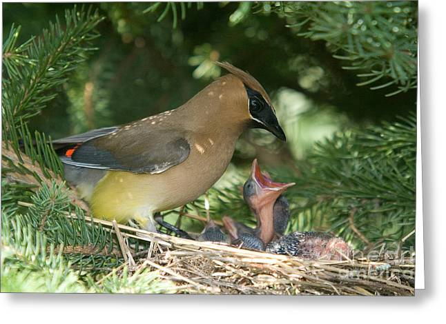 Hungry Chicks Greeting Cards - Cedar Waxwings Greeting Card by Linda Freshwaters Arndt