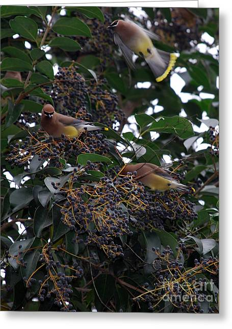 Kinds Of Birds Greeting Cards - Cedar Waxwings Greeting Card by Skip Willits