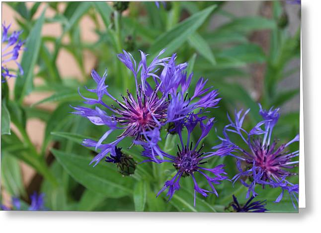 Centaurea Montana Greeting Cards - Centaurea Montana Greeting Card by Brian Lucia