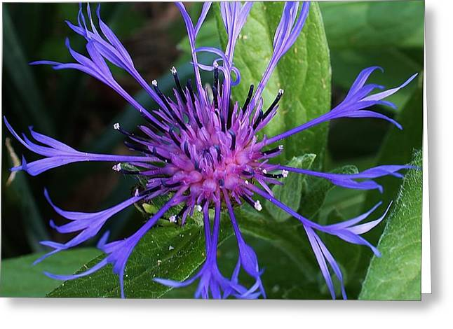 Centaurea Montana Greeting Card by Bruce Bley
