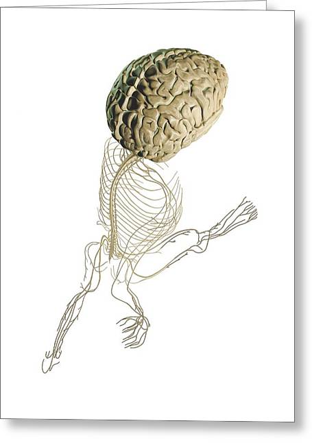 Central Nervous System Greeting Cards - Central and peripheral nerves, artwork Greeting Card by Science Photo Library