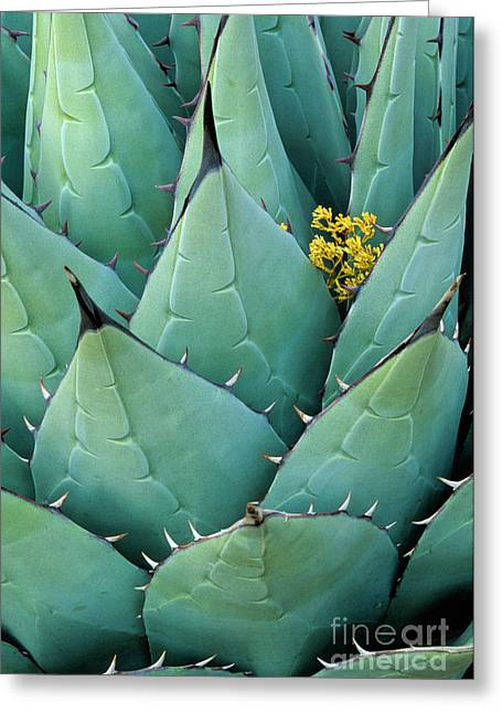 Southwest Greeting Cards - Century Plant and Tiny Blossom Greeting Card by Inge Johnsson