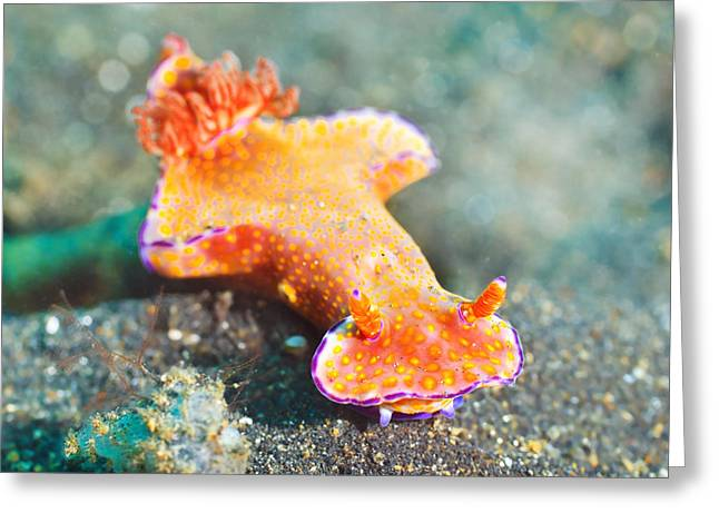 Shell-less Greeting Cards - Ceratosoma trilobatum nudibranch Greeting Card by MotHaiBaPhoto Prints
