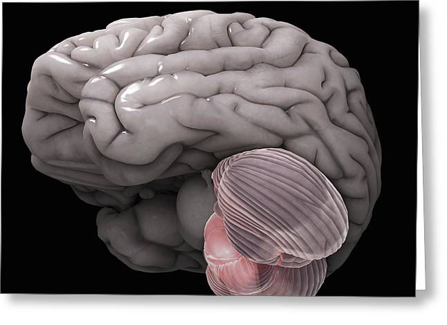 Cerebral Cortex Greeting Cards - Cerebellum Greeting Card by Science Picture Co