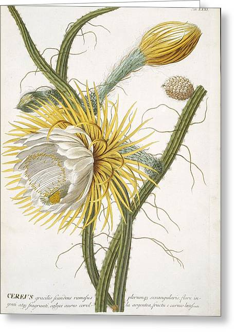 Cereus Greeting Cards - Cereus cactus flower, 18th century Greeting Card by Science Photo Library