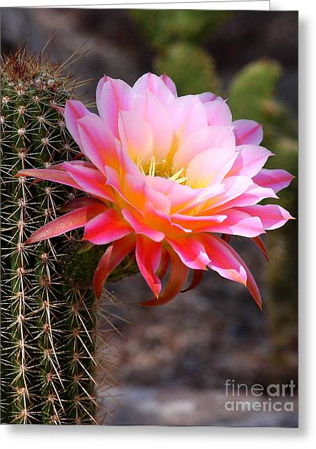 Cereus In Pink Greeting Card by Ruth Jolly