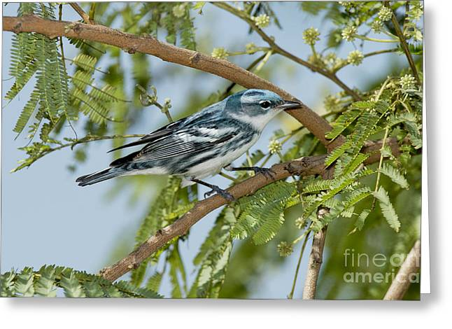 Setophaga Greeting Cards - Cerulean Warbler Greeting Card by Anthony Mercieca