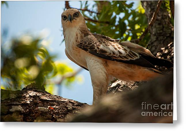 Ceylon Greeting Cards - Ceylon Hawk Eagle Greeting Card by Venura Herath