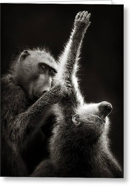 Monochrome Greeting Cards - Chacma Baboons Grooming Greeting Card by Johan Swanepoel