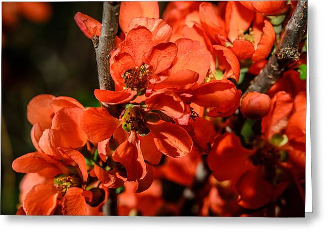 Chaenomeles Greeting Card by Michael Goyberg