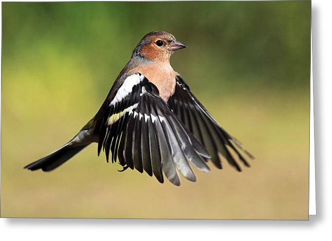 Hovering Greeting Cards - Chaffinch in flight Greeting Card by Grant Glendinning