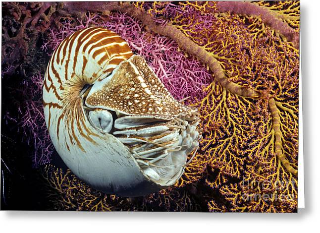 Simple Beauty In Colors Greeting Cards - Chambered nautilus _Nautilus pompilius__ Indonesia Greeting Card by Dave Fleetham
