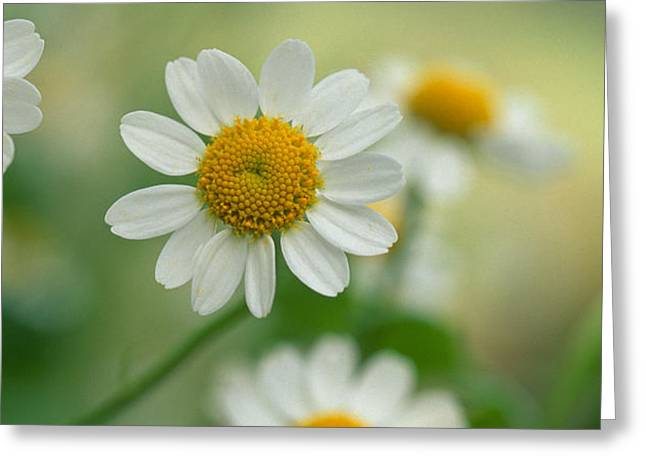 Chamomile Greeting Card by Kathy Yates