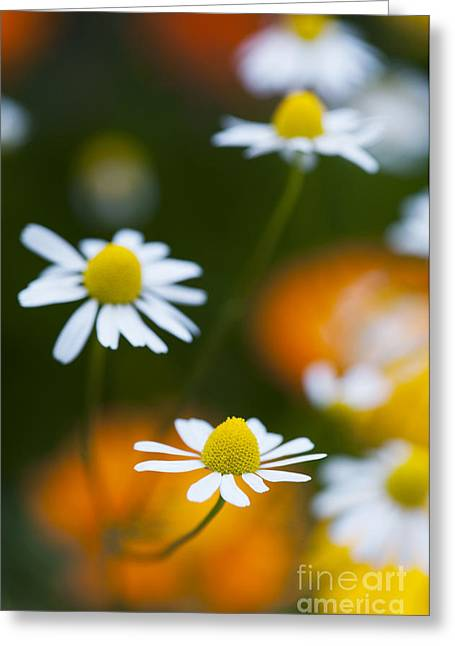 Asteraceae Greeting Cards - Chamomile Greeting Card by Tim Gainey