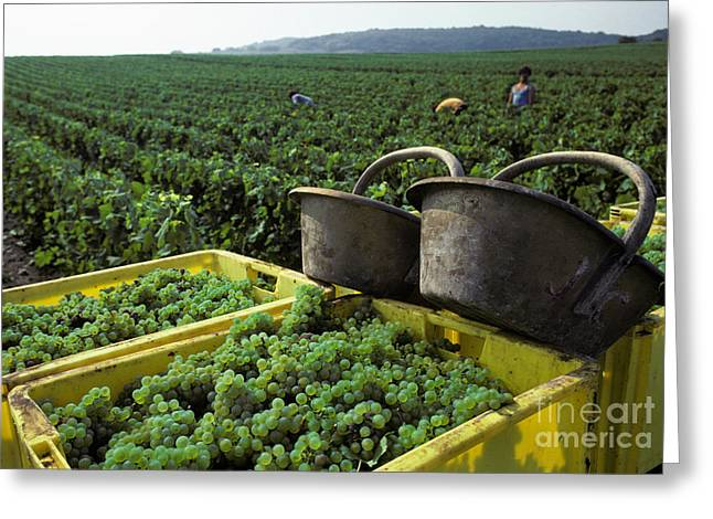 Viticulture Greeting Cards - Champagne Grape Harvest Greeting Card by Ron Sanford