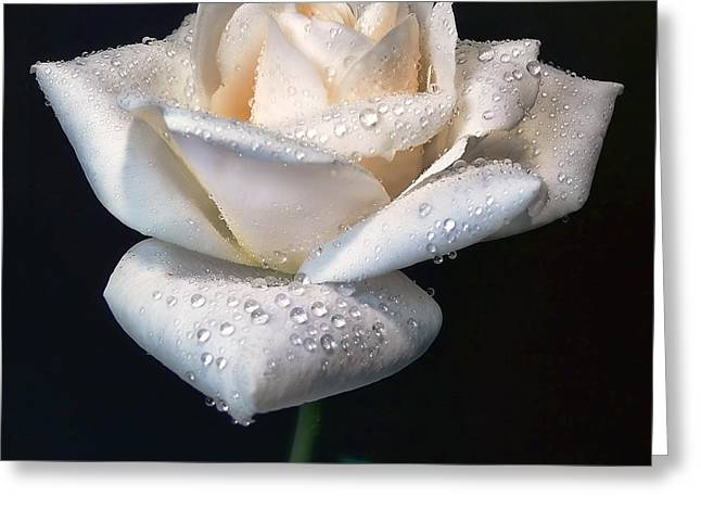 Ivory Roses Greeting Cards - Champagne Rose Flower Macro Greeting Card by Jennie Marie Schell