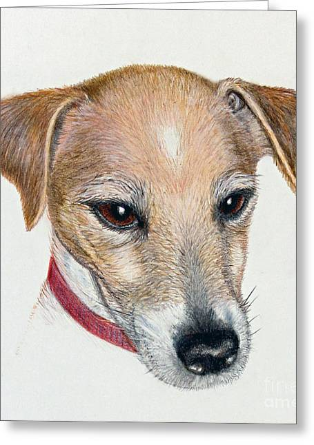 Collar Drawings Greeting Cards - Chance - Jack Russell Portrait Greeting Card by Jacqueline Barden