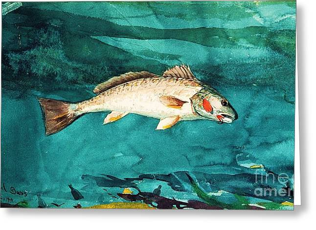 Decorative Fish Greeting Cards - Channel Bass Greeting Card by Pg Reproductions