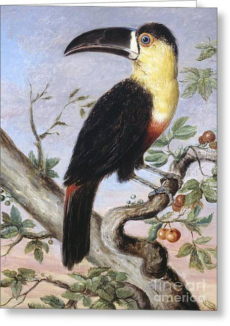 Vigor Greeting Cards - Channel-billed Toucan, 19th Century Greeting Card by Natural History Museum, London
