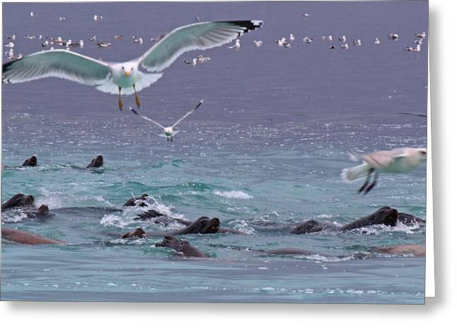Sea Lions Greeting Cards - Chaos Greeting Card by Randy Hall