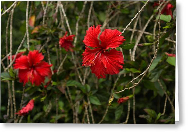 Disarray Greeting Cards - Chaotic Disarray of Red Hibiscus Flowers Greeting Card by Georgia Mizuleva