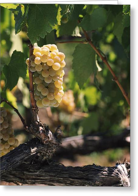 Winemaking Greeting Cards - Chardonnay Grapes In Vineyard, Carneros Greeting Card by Panoramic Images