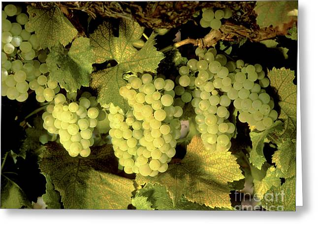 Harvest Time Greeting Cards - Chardonnay Wine Clusters Greeting Card by Craig Lovell