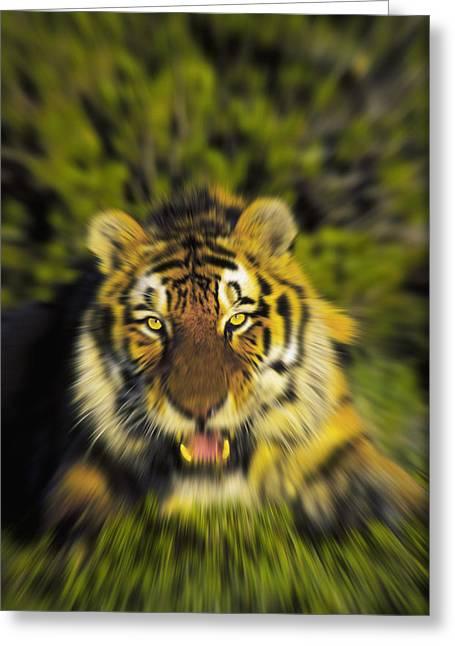 Altaica Greeting Cards - Charging Siberian Tiger Panthera Tigris Greeting Card by Thomas Kitchin & Victoria Hurst
