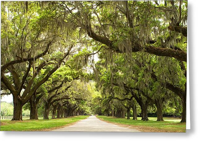 Live Art Greeting Cards - Charleston Avenue of Oaks Greeting Card by Stephanie McDowell