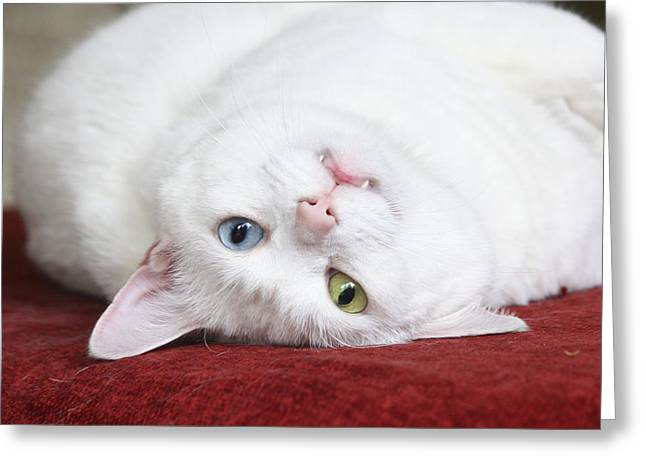 Terri Waters Greeting Cards - Charlie the Deaf White Cat Greeting Card by Terri  Waters