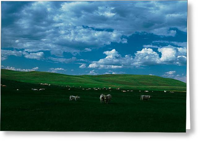 Pasture Scenes Greeting Cards - Charolais Cattle Grazing In A Field Greeting Card by Panoramic Images