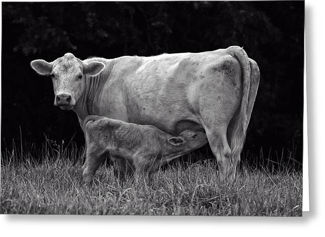 Cow Images Photographs Greeting Cards - Charolais Cow Greeting Card by Chris Flees