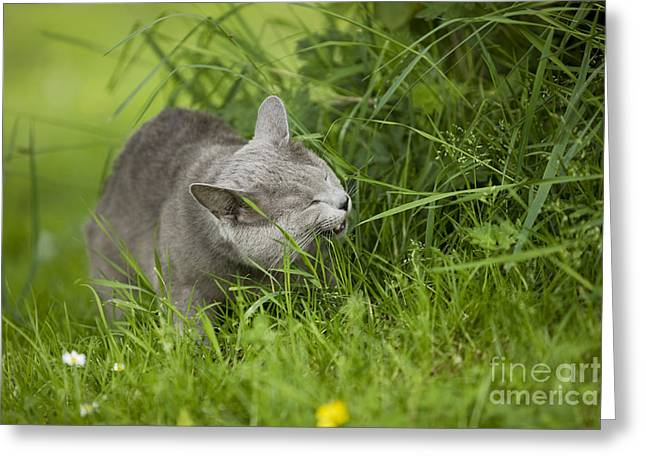 Gray Hair Greeting Cards - Chartreux Cat And Grass Greeting Card by Jean-Michel Labat