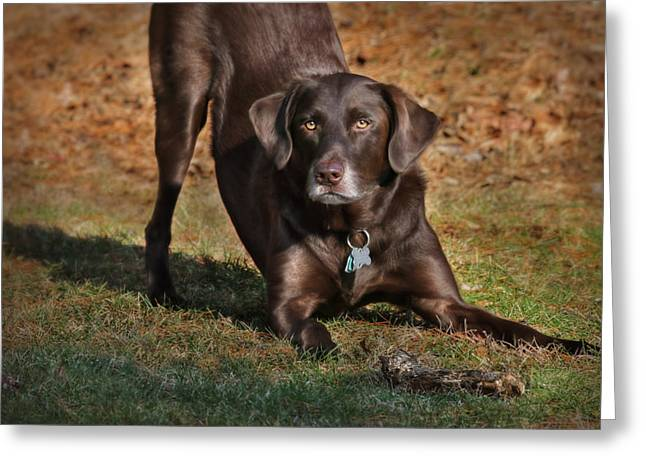 Chocolate Lab Greeting Cards - Chase Me Greeting Card by Lori Deiter