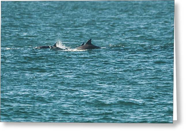 Ocean Mammals Greeting Cards - Chasing Greeting Card by Alistair Lyne