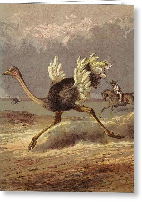 Henry Greeting Cards - Chasing The Ostrich Colour Litho Greeting Card by English School