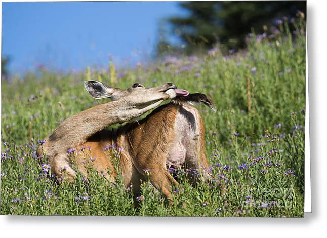 Doe Greeting Cards - Chasing the Tail Greeting Card by Mike Dawson
