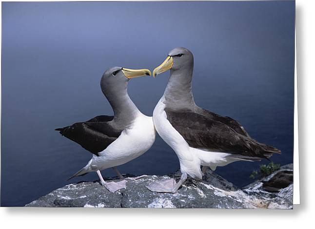 Chatham Greeting Cards - Chatham Albatross Courting Pair Chatham Greeting Card by Tui De Roy